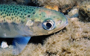 Photo: Virtual fish to be used in labs