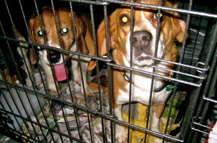 Photo: Watch beagles take their first steps to freedom